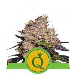 Purple Queen Automatic