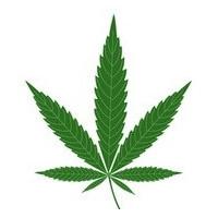 Hybrydy odmian marihuany sativa/indica