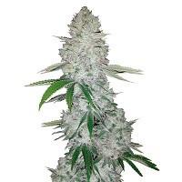 Szybkie odmiany marihuany, konopi automaty
