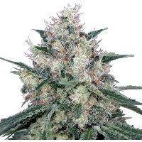 Odmiany marihuany, konopi półautomatyczne