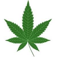 Nasiona marihuany 100% Indica, feminizowane
